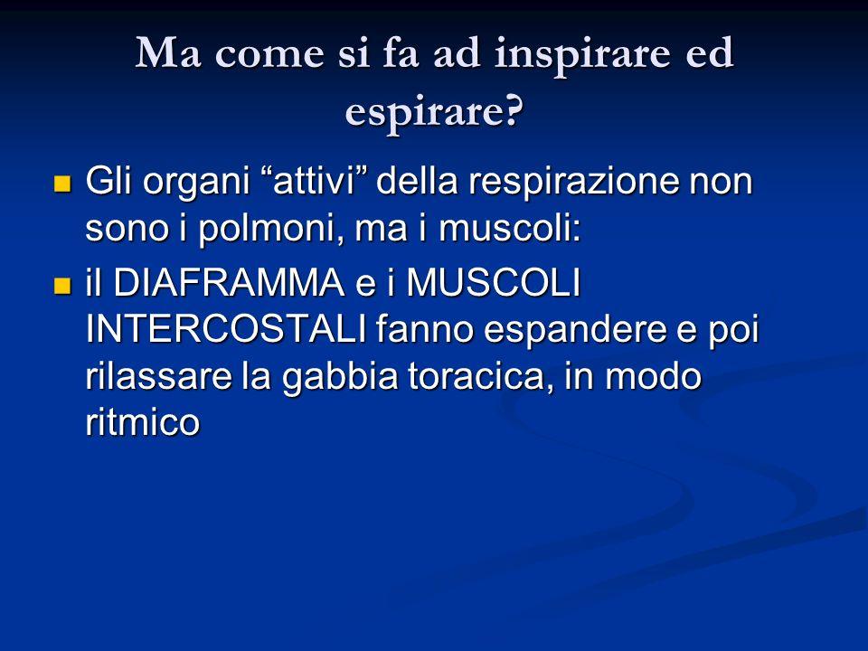 Ma come si fa ad inspirare ed espirare? Gli organi attivi della respirazione non sono i polmoni, ma i muscoli: Gli organi attivi della respirazione no