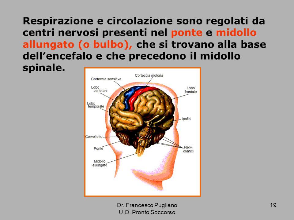 19 Respirazione e circolazione sono regolati da centri nervosi presenti nel ponte e midollo allungato (o bulbo), che si trovano alla base dellencefalo