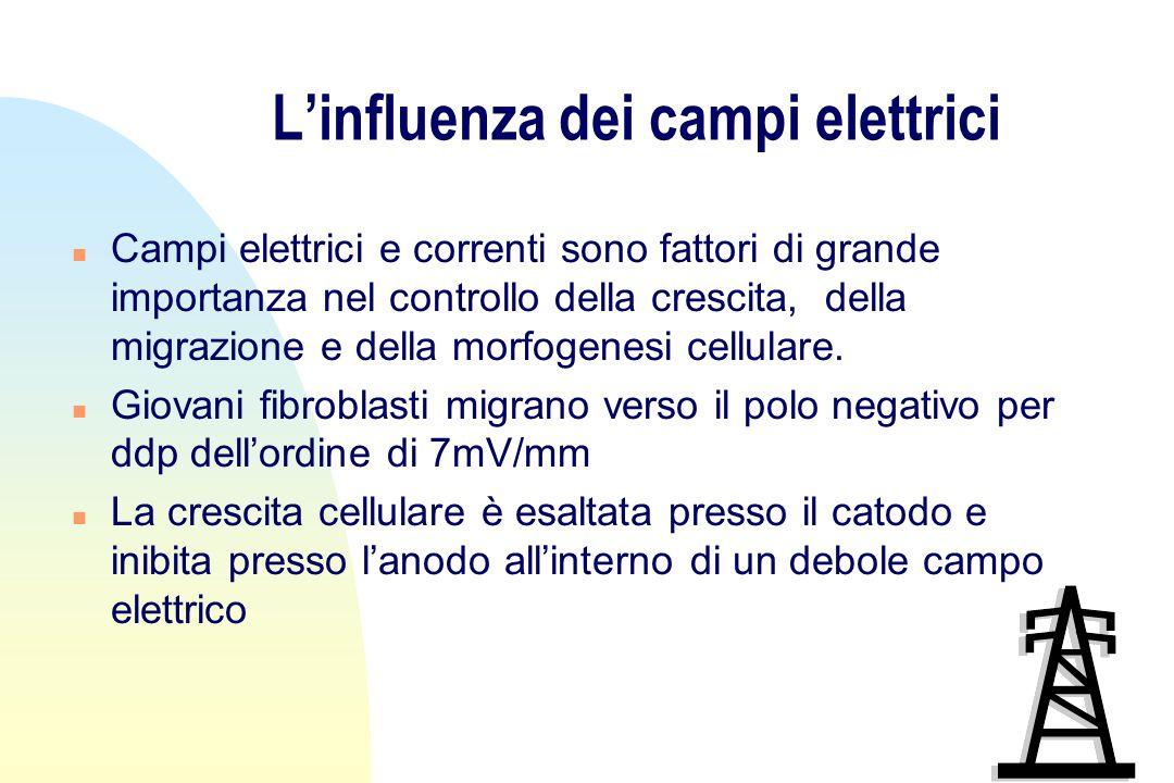 Linfluenza dei campi elettrici n Campi elettrici e correnti sono fattori di grande importanza nel controllo della crescita, della migrazione e della morfogenesi cellulare.