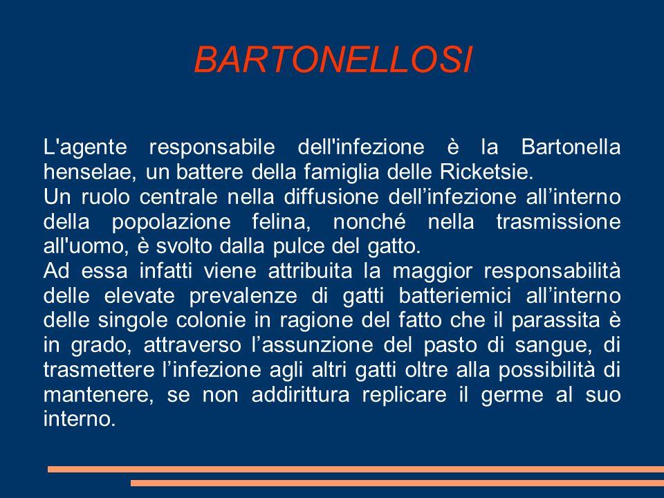 BARTONELLOSI L'agente responsabile dell'infezione è la Bartonella henselae, un battere della famiglia delle Ricketsie. Un ruolo centrale nella diffusi