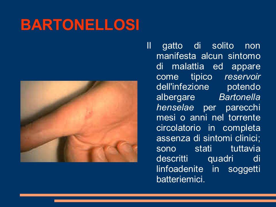 BARTONELLOSI Il gatto di solito non manifesta alcun sintomo di malattia ed appare come tipico reservoir dell'infezione potendo albergare Bartonella he