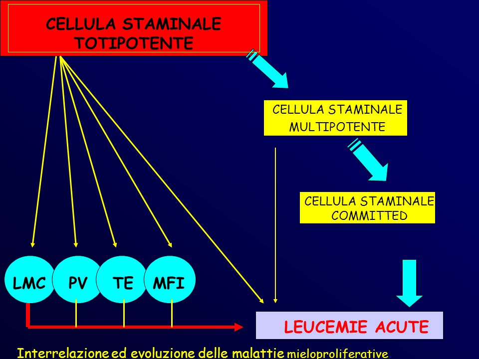 CELLULA STAMINALE TOTIPOTENTE CELLULA STAMINALE MULTIPOTENTE CELLULA STAMINALE COMMITTED LMCPVTEMFI LEUCEMIE ACUTE Interrelazione ed evoluzione delle malattie mieloproliferative