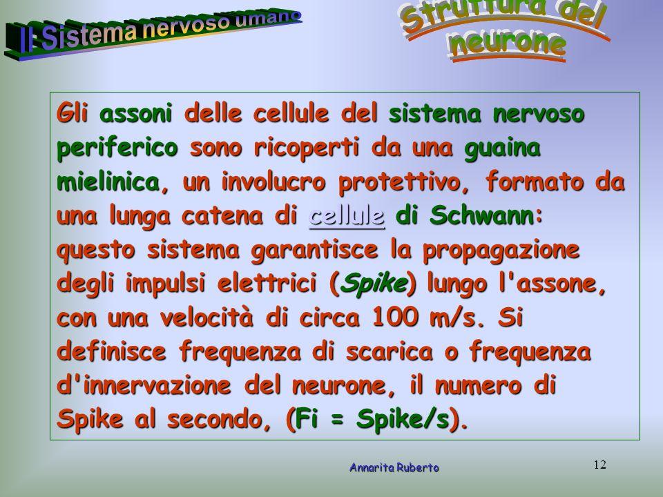 12 Annarita Ruberto Gli assoni delle cellule del sistema nervoso periferico sono ricoperti da una guaina mielinica, un involucro protettivo, formato d