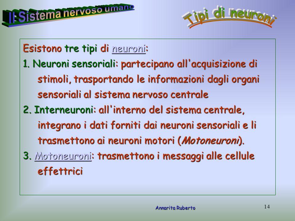 14 Esistono tre tipi di neuroni: neuroni 1. Neuroni sensoriali: partecipano all'acquisizione di stimoli, trasportando le informazioni dagli organi sen
