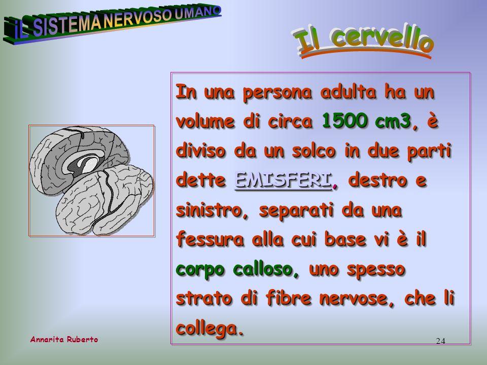 24 Annarita Ruberto In una persona adulta ha un volume di circa 1500 cm3, è diviso da un solco in due parti dette EMISFERI, destro e sinistro, separat