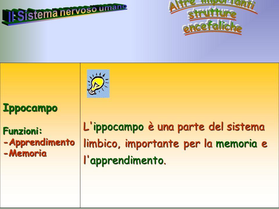 35 Annarita RubertoIppocampoFunzioni:-Apprendimento-Memoria L'ippocampo è una parte del sistema limbico, importante per la memoria e l'apprendimento.