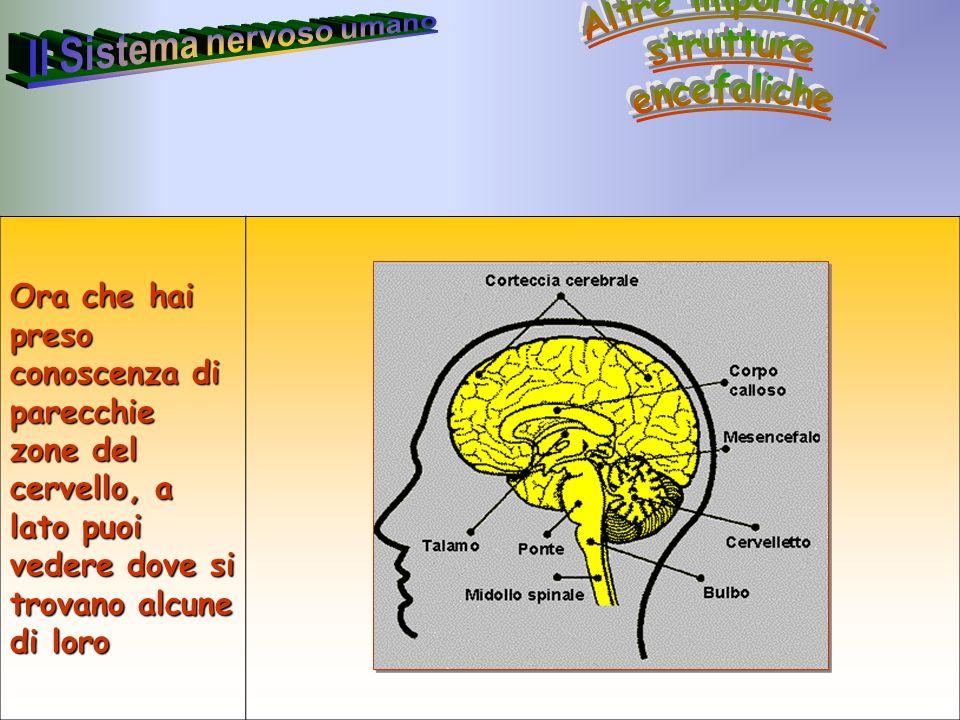 38 Annarita Ruberto Ora che hai preso conoscenza di parecchie zone del cervello, a lato puoi vedere dove si trovano alcune di loro
