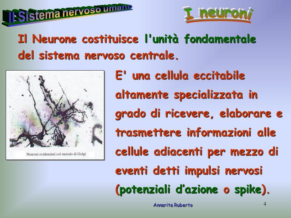 5 Annarita Ruberto Strutturalmente il neurone presenta un corpo cellulare o soma, contenente il nucleo della cellula, e un insieme di processi che si estendono da esso denominati neuriti.