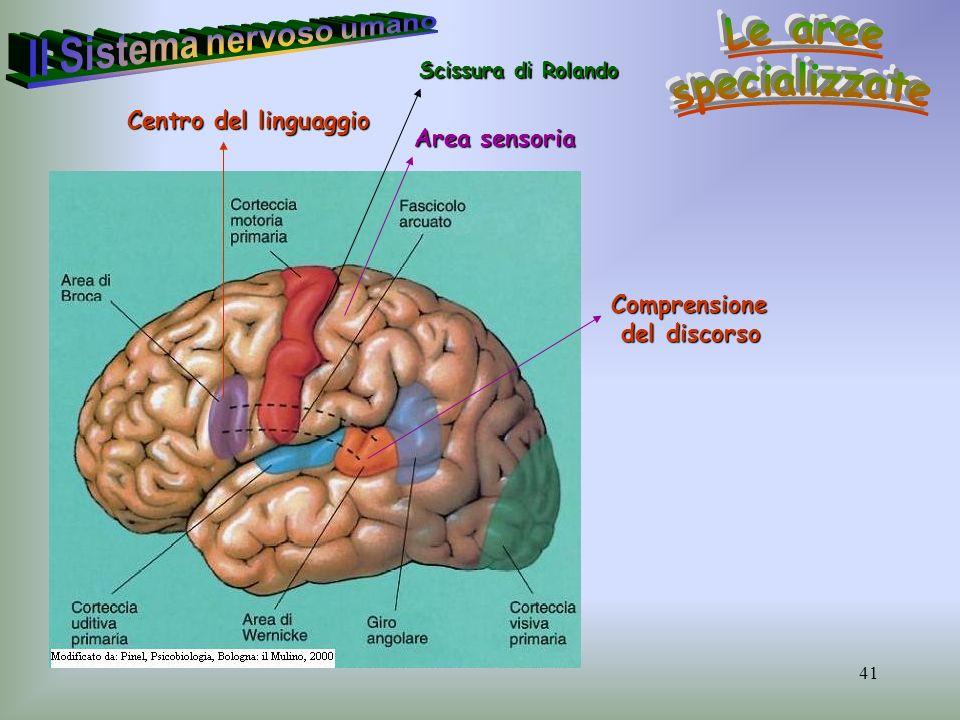 41 Comprensione del discorso del discorso Centro del linguaggio Area sensoria Scissura di Rolando