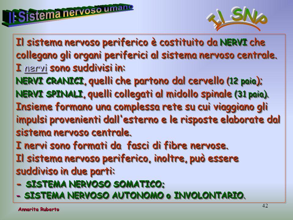 42 Il sistema nervoso periferico è costituito da NERVI che collegano gli organi periferici al sistema nervoso centrale. I nervi sono suddivisi in: ner