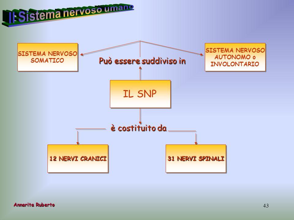 43 IL SNP è costituito da 12 NERVI CRANICI Può essere suddiviso in 31 NERVI SPINALI SISTEMA NERVOSO SOMATICO SISTEMA NERVOSO SOMATICO SISTEMA NERVOSO