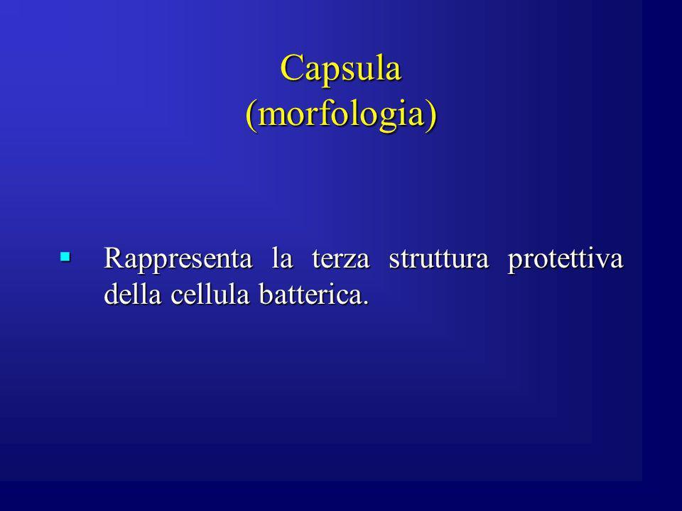 Capsula (morfologia) Rappresenta la terza struttura protettiva della cellula batterica. Rappresenta la terza struttura protettiva della cellula batter