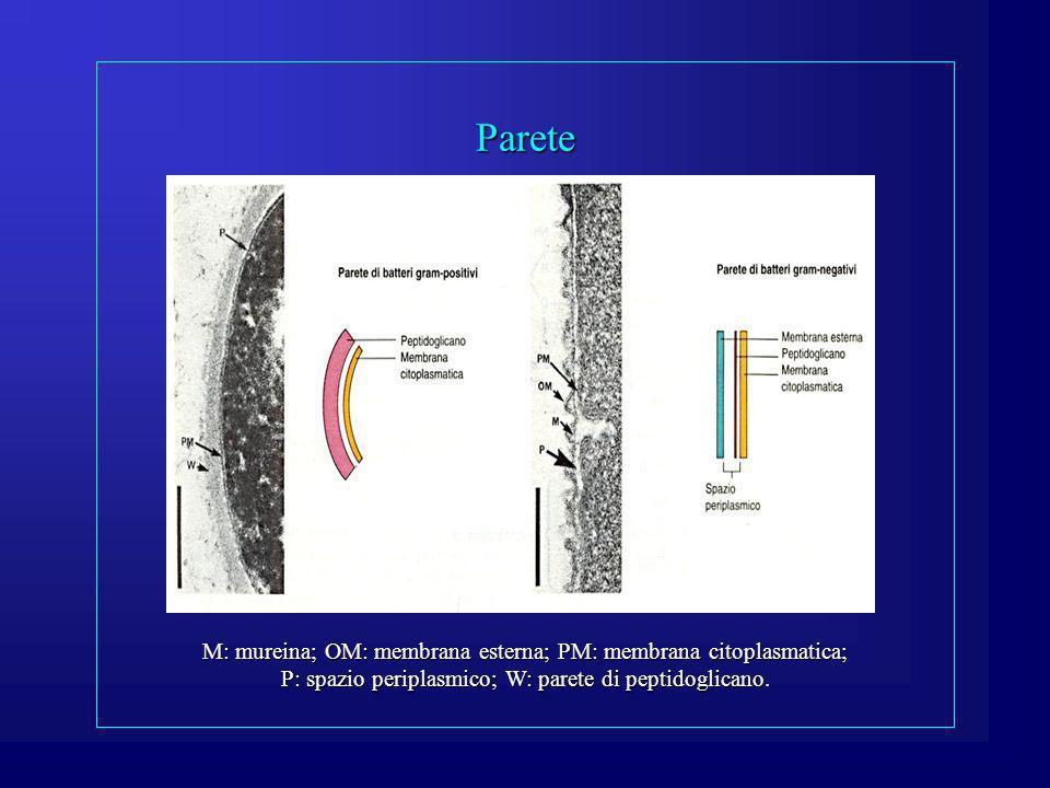 Parete M: mureina; OM: membrana esterna; PM: membrana citoplasmatica; P: spazio periplasmico; W: parete di peptidoglicano.