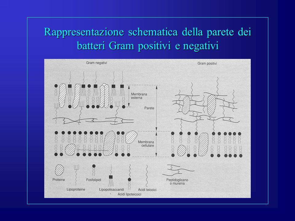 Parete cellulare (composizione chimica e funzione) È composta da acidi teicoici e peptidoglicano (Gram+).