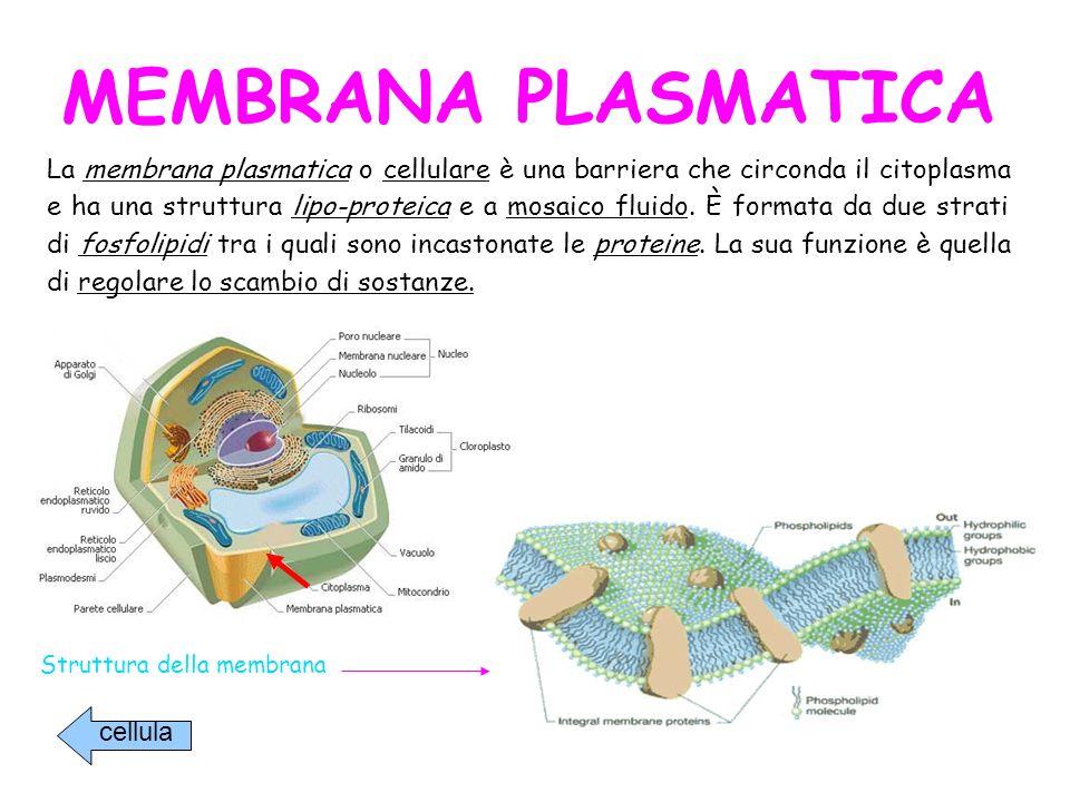 CITOPLASMA Il citoplasma è formato da una sostanza gelatinosa (citosol) e da una serie di particelle insolubili.