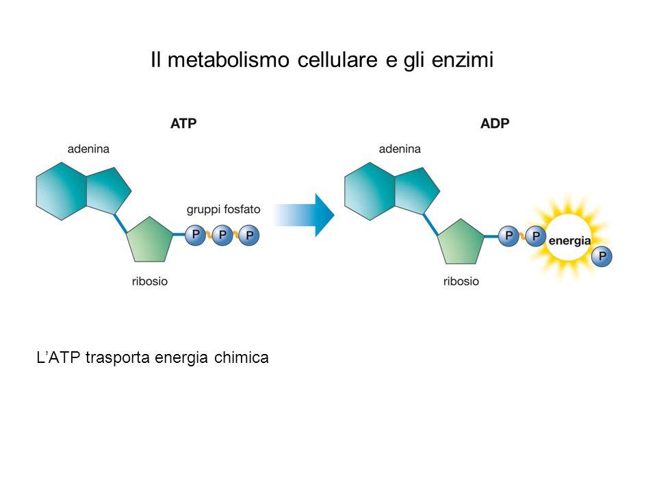 Lupia Palmieri, Parotto, Saraceni, Strumia, Scienze integrate © Zanichelli editore 2010 Il metabolismo cellulare e gli enzimi LATP trasporta energia chimica