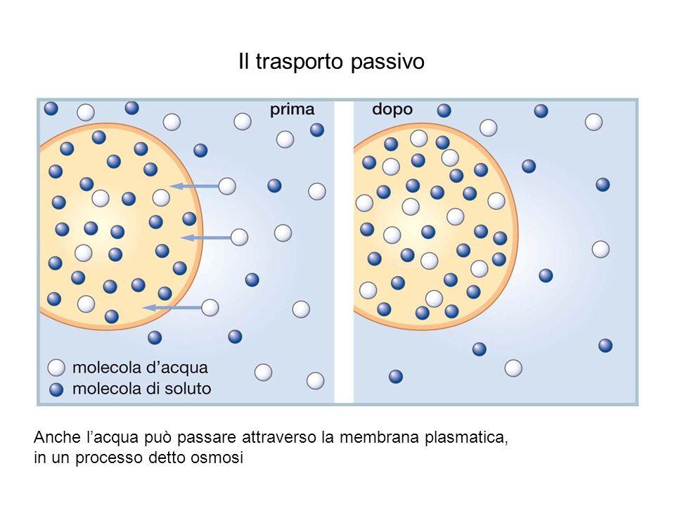 Lupia Palmieri, Parotto, Saraceni, Strumia, Scienze integrate © Zanichelli editore 2010 Il trasporto passivo Anche lacqua può passare attraverso la membrana plasmatica, in un processo detto osmosi