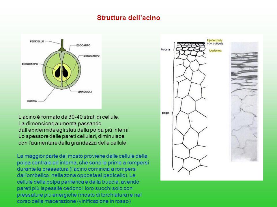 Le bucce sono ricche di: Sostanze polifenoliche (antociani, flavonoli, flavanoli, polifenoli non flavonoidi) Sostanze aromatiche (terpeni, metossipirazine, norisoprenoidi) Sostanze azotate, importanti per la moltiplicazione dei lieviti (in assenza di vinacce, i mosti a volte fermentano con difficoltà per bassi livelli di APA) Sali minerali Acidi organici salificati Le uve da vino soprattutto quelle destinate ai vini rossi hanno un rapporto più elevato buccia/polpa rispetto alle uve da tavola che invece presentano una maggiore succosità ed un maggior contenuto di pectine e di sostanze azotate.