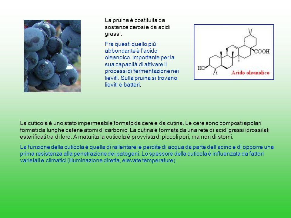 La pruina è costituita da sostanze cerosi e da acidi grassi. Fra questi quello più abbondante è lacido oleanoico, importante per la sua capacità di at