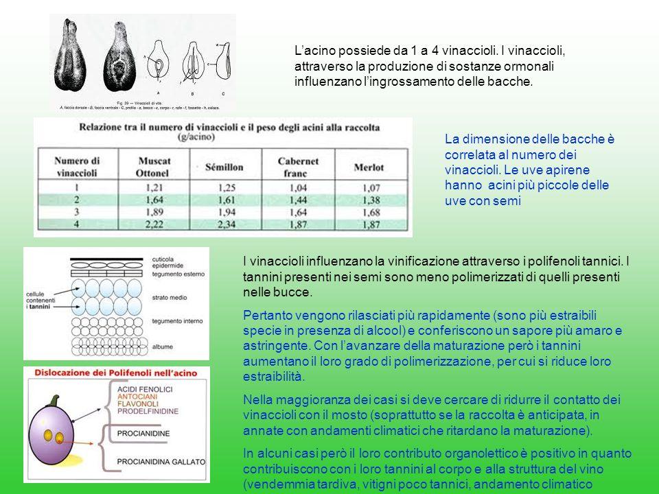 Lacino possiede da 1 a 4 vinaccioli. I vinaccioli, attraverso la produzione di sostanze ormonali influenzano lingrossamento delle bacche. La dimension