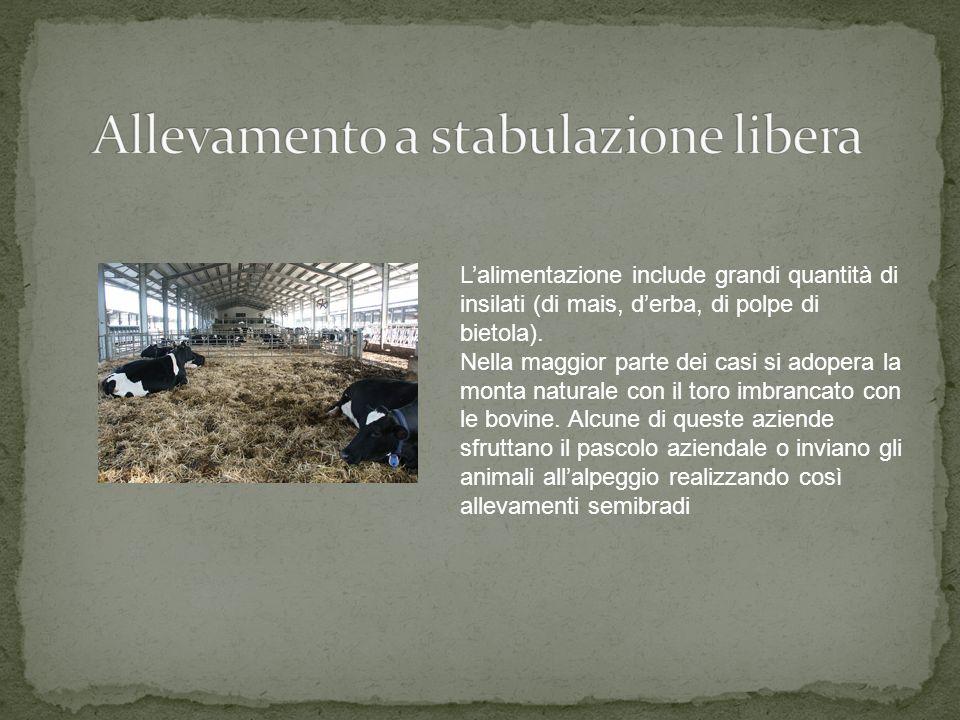 I bovini possono essere mandati al pascolo quotidianamente con rientro serale in stalla o essere lasciati liberi durante le fasi di disponibilità di e
