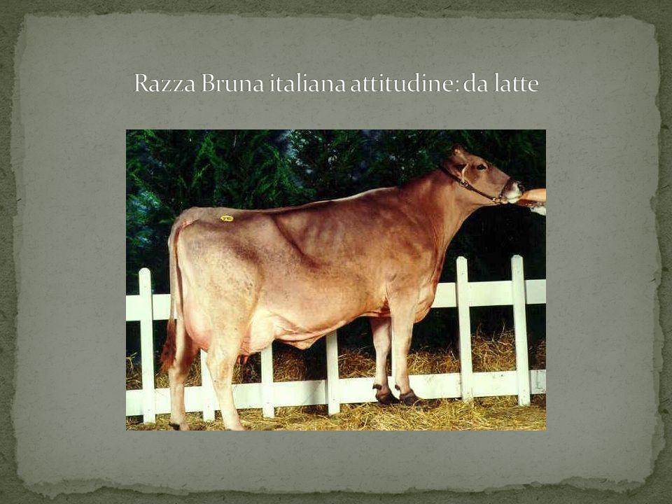 Razza Frisona italiana attitudine: da latte