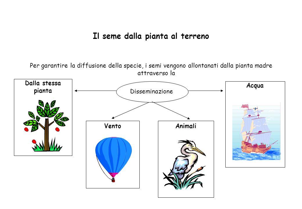 Il seme dalla pianta al terreno Per garantire la diffusione della specie, i semi vengono allontanati dalla pianta madre attraverso la Disseminazione D