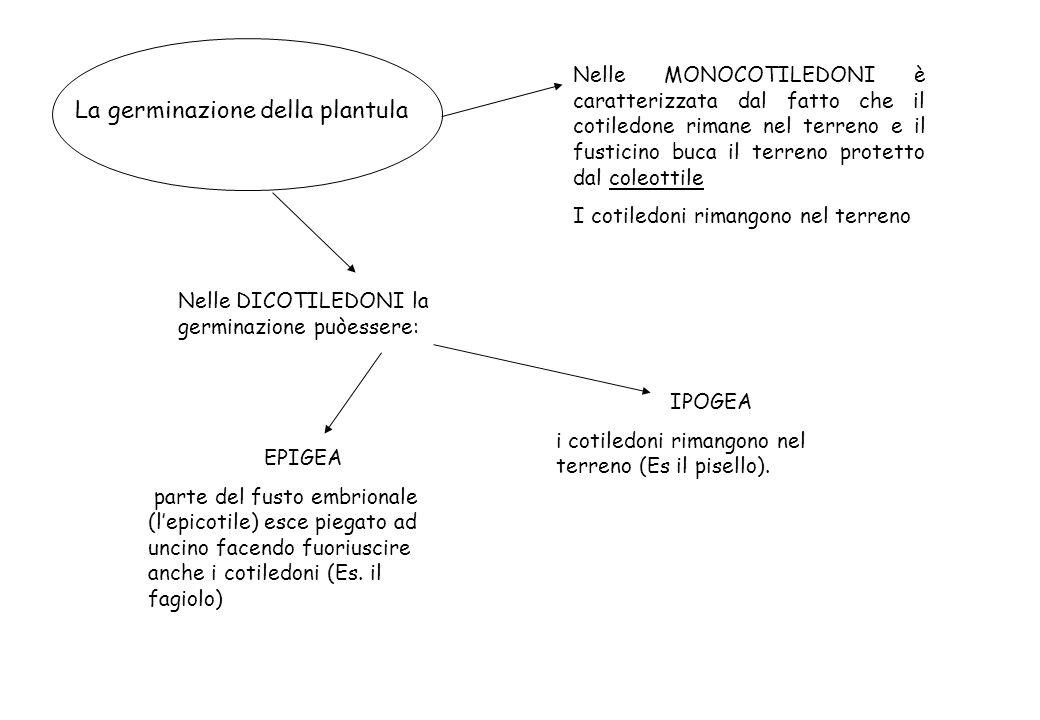 La germinazione della plantula EPIGEA parte del fusto embrionale (lepicotile) esce piegato ad uncino facendo fuoriuscire anche i cotiledoni (Es. il fa
