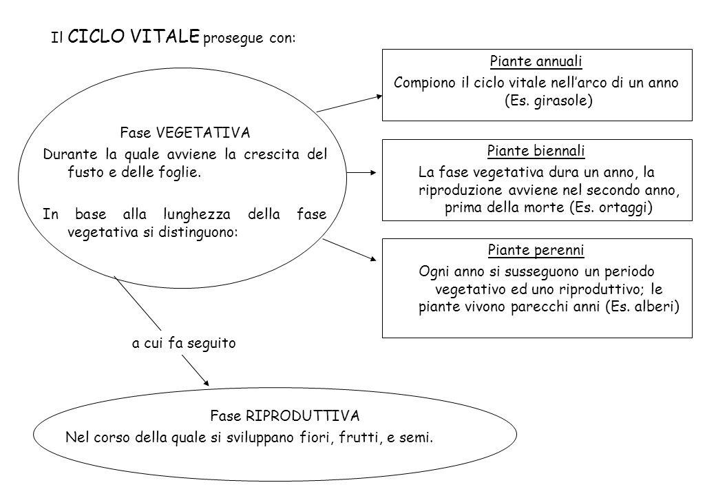 Il CICLO VITALE prosegue con: Fase VEGETATIVA Durante la quale avviene la crescita del fusto e delle foglie. In base alla lunghezza della fase vegetat