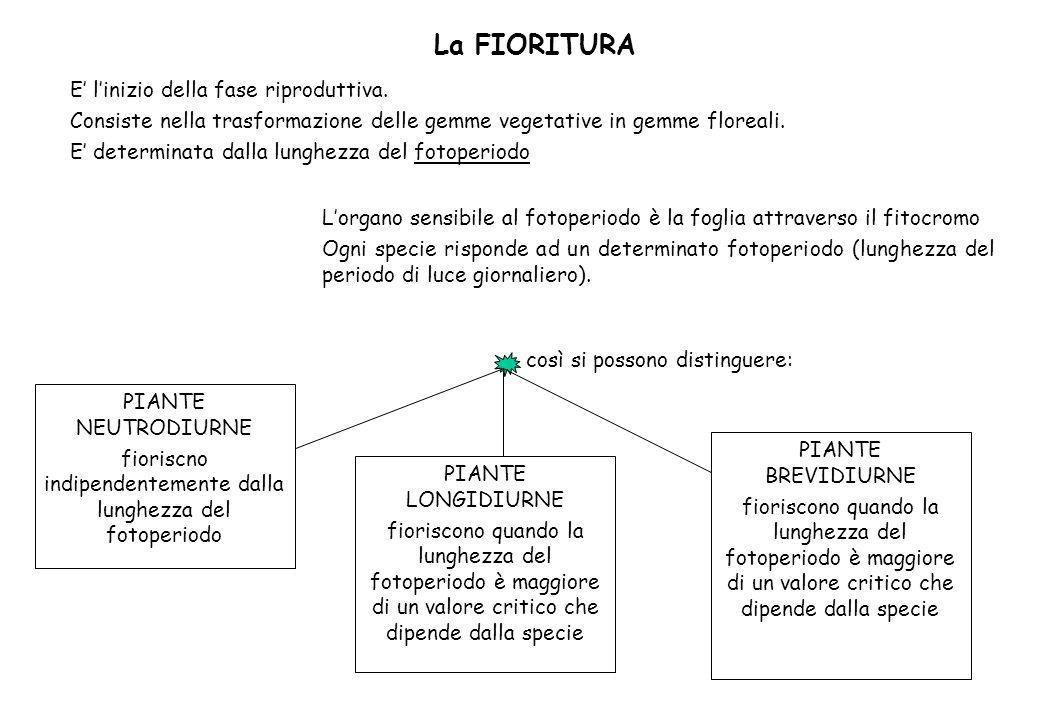 La FIORITURA E linizio della fase riproduttiva. Consiste nella trasformazione delle gemme vegetative in gemme floreali. E determinata dalla lunghezza