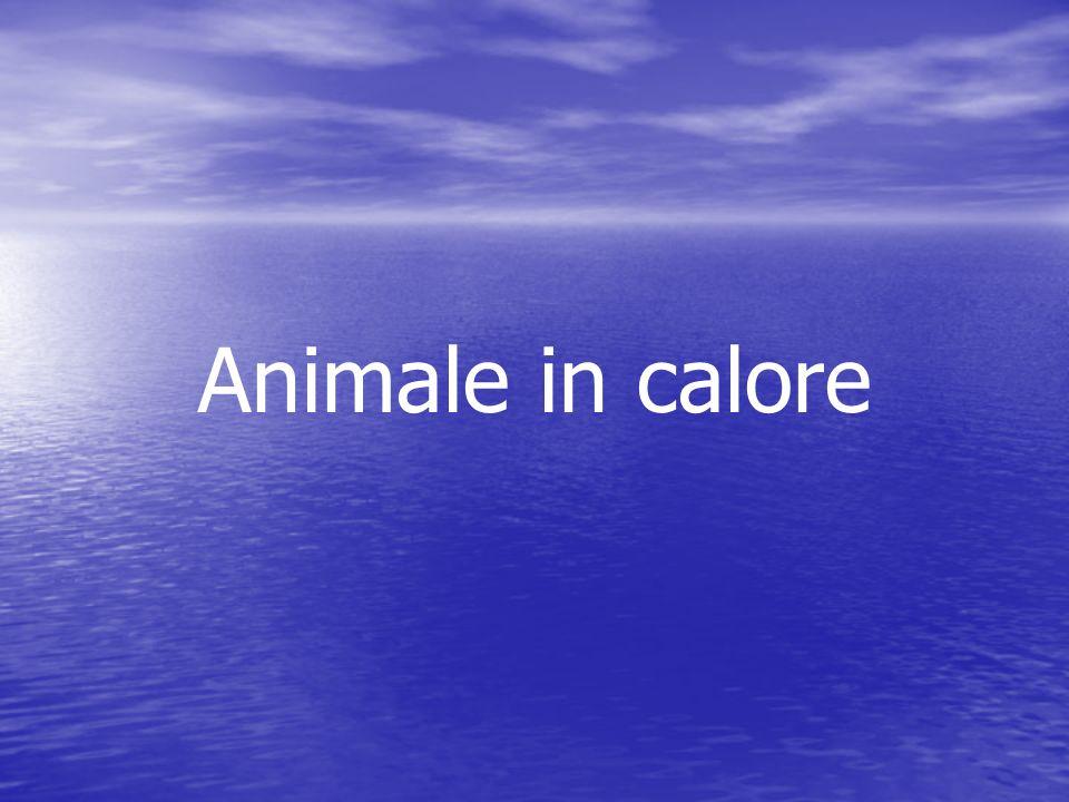 Animale in calore
