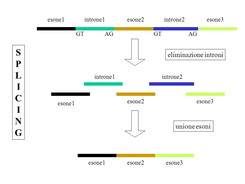 esone1introne1esone2introne2esone3 esone1 introne1 esone2 introne2 esone3 SPLICINGSPLICING eliminazione introni unione esoni GT AG
