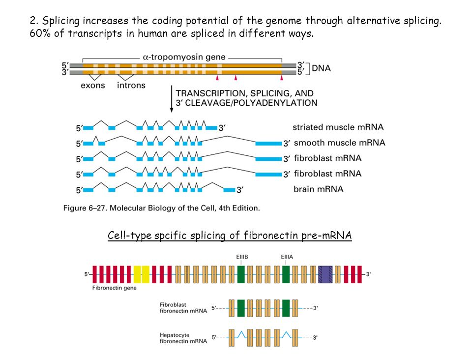 2. Splicing increases the coding potential of the genome through alternative splicing. 60% of transcripts in human are spliced in different ways. Cell