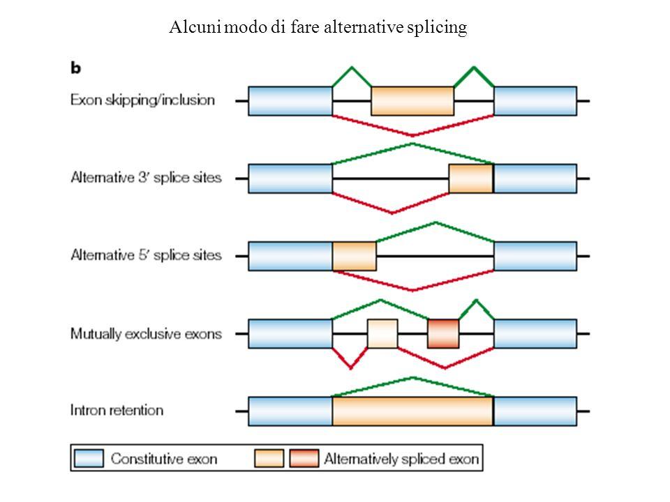Modello di exonic splicing enhancer mediato da proteine SR
