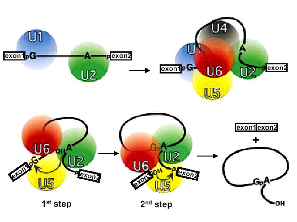 - SnRNPs (Small nuclear ribonuclear proteins) binds critical sites on the pre-mRNA - pronounced SNURPs - these are complexes containing both protein and small RNAs - the small RNAs are transcribed by RNA polymerase III - they then associate with accessory proteins - the complex then recognizes critical sites for splicing by base pairing Particelle dello splicing