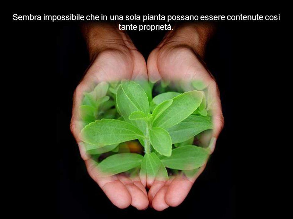 Però lo qualità più importante di questa pianta è che la foglia verde può essere consumata come insalata e come golosità e la foglia essiccata per far