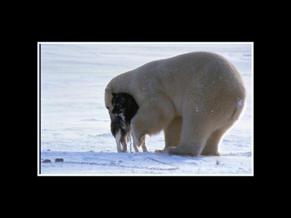 Sembra evidente che questo orso non era affamato…