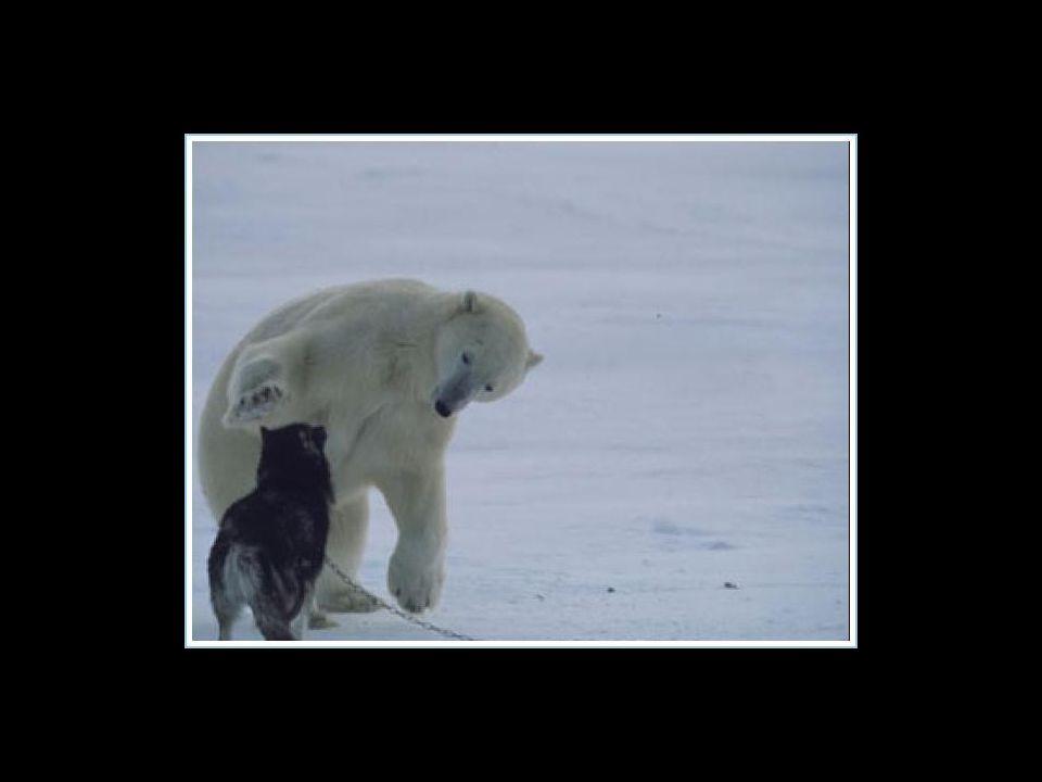 L'orso polare è ritornato tutte le notti durante la settimana per giocare coi cani… L'orso polare è ritornato tutte le notti durante la settimana per
