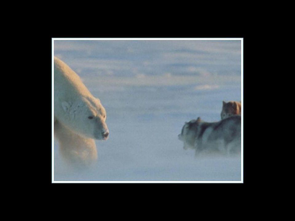 Il fotografo era sicuro di vedere i suoi huskies finire in pasto all'orso bianco che era appena apparso…
