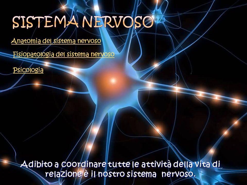 Fisiopatologia del sistema nervoso Anatomia del sistema nervoso Psicologia Adibito a coordinare tutte le attività della vita di relazione è il nostro