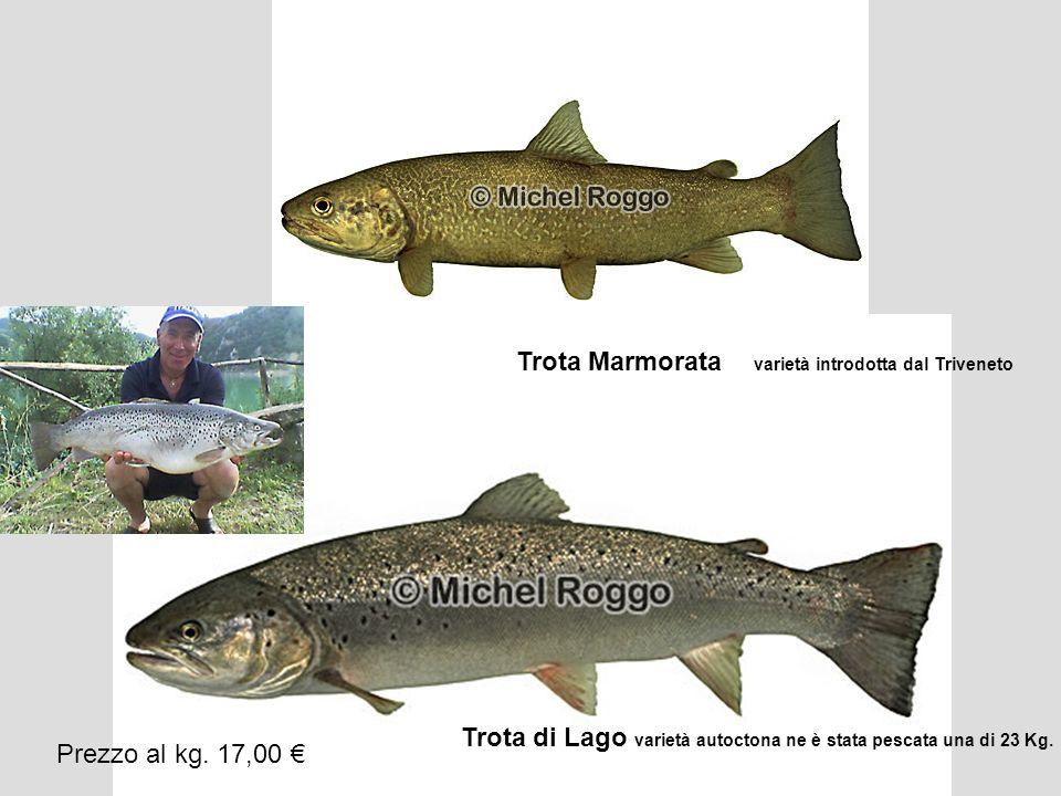 Trota Marmorata varietà introdotta dal Triveneto Trota di Lago varietà autoctona ne è stata pescata una di 23 Kg. Prezzo al kg. 17,00