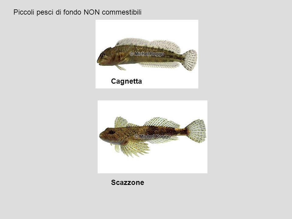 Cagnetta Scazzone Piccoli pesci di fondo NON commestibili
