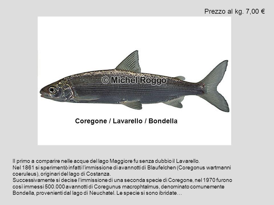 Coregone / Lavarello / Bondella Prezzo al kg. 7,00 Il primo a comparire nelle acque del lago Maggiore fu senza dubbio il Lavarello. Nel 1861 si sperim