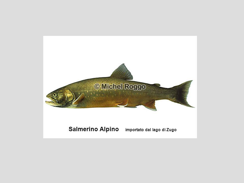Salmerino Alpino importato dal lago di Zugo