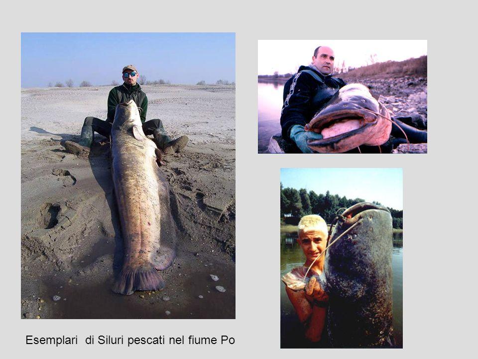 Esemplari di Siluri pescati nel fiume Po