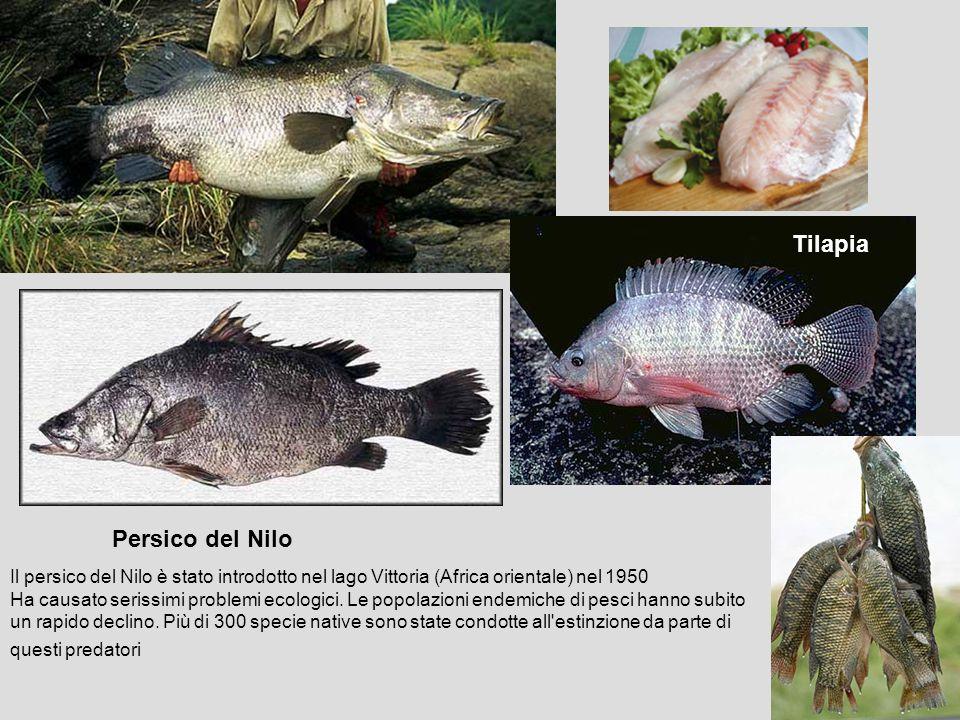 Il persico del Nilo è stato introdotto nel lago Vittoria (Africa orientale) nel 1950 Ha causato serissimi problemi ecologici. Le popolazioni endemiche