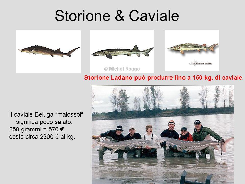 Storione & Caviale Storione Ladano può produrre fino a 150 kg. di caviale Il caviale Beluga malossol significa poco salato. 250 grammi = 570 costa cir