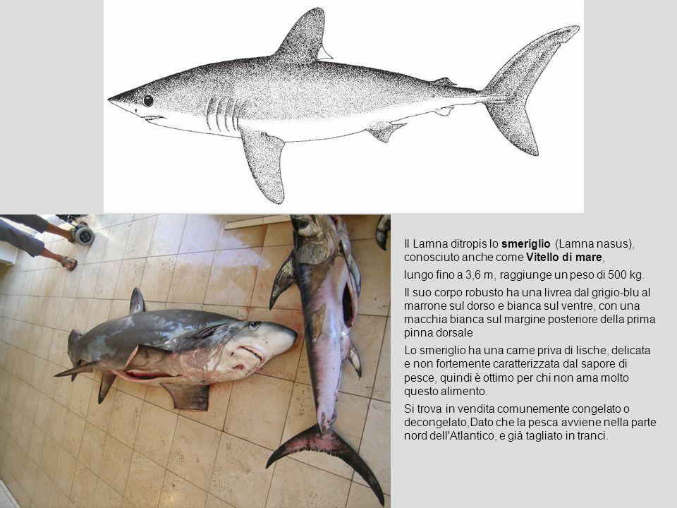 Il Lamna ditropis lo smeriglio (Lamna nasus), conosciuto anche come Vitello di mare, lungo fino a 3,6 m, raggiunge un peso di 500 kg. Il suo corpo rob