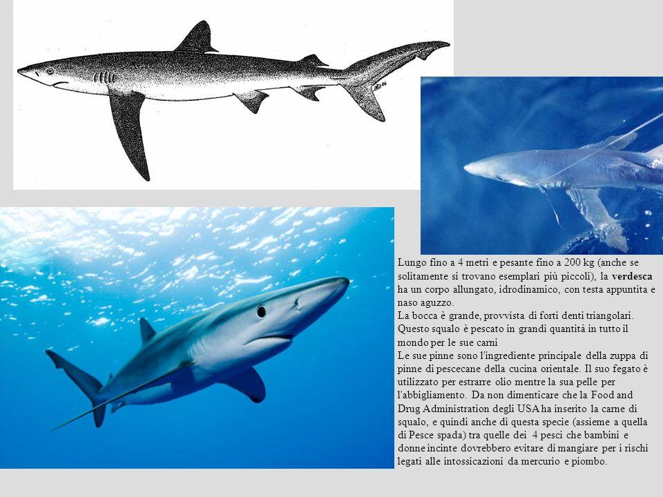 Lungo fino a 4 metri e pesante fino a 200 kg (anche se solitamente si trovano esemplari più piccoli), la verdesca ha un corpo allungato, idrodinamico,