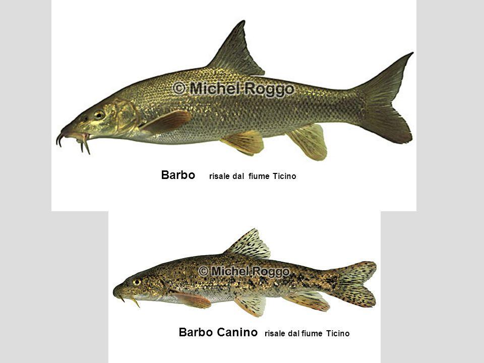 Barbo risale dal fiume Ticino Barbo Canino risale dal fiume Ticino